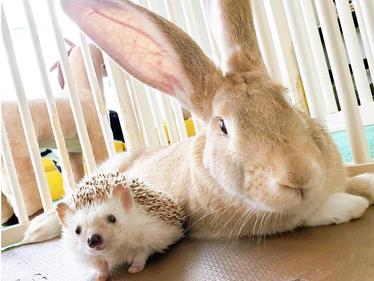 【完全貸切個室ファミリープラン-30分-】 ハリネズミ・チンチラ・ウサギとふれあ...