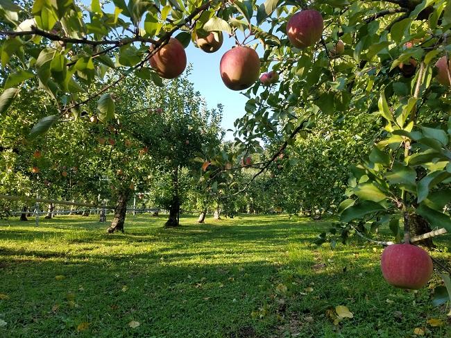 ★2021年★【食べ放題・時間無制限】大自然に囲まれながら、りんご狩り 又は 梨...