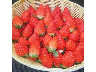 【 じゃらん限定・平日予約プラン】お花屋さんが営むいちご園☆最大9種類の美味しい苺を45分間食べ比べ・3種のソースをお好みでどうぞ♪ ☆人気の観光地小江戸川越へもスグ!!好アクセスです☆
