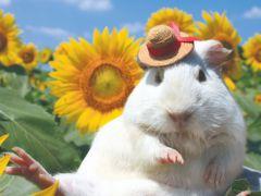 夏は広大な向日葵畑をご覧いただけます★麦わら帽子を被ったお茶目なモルモット♪