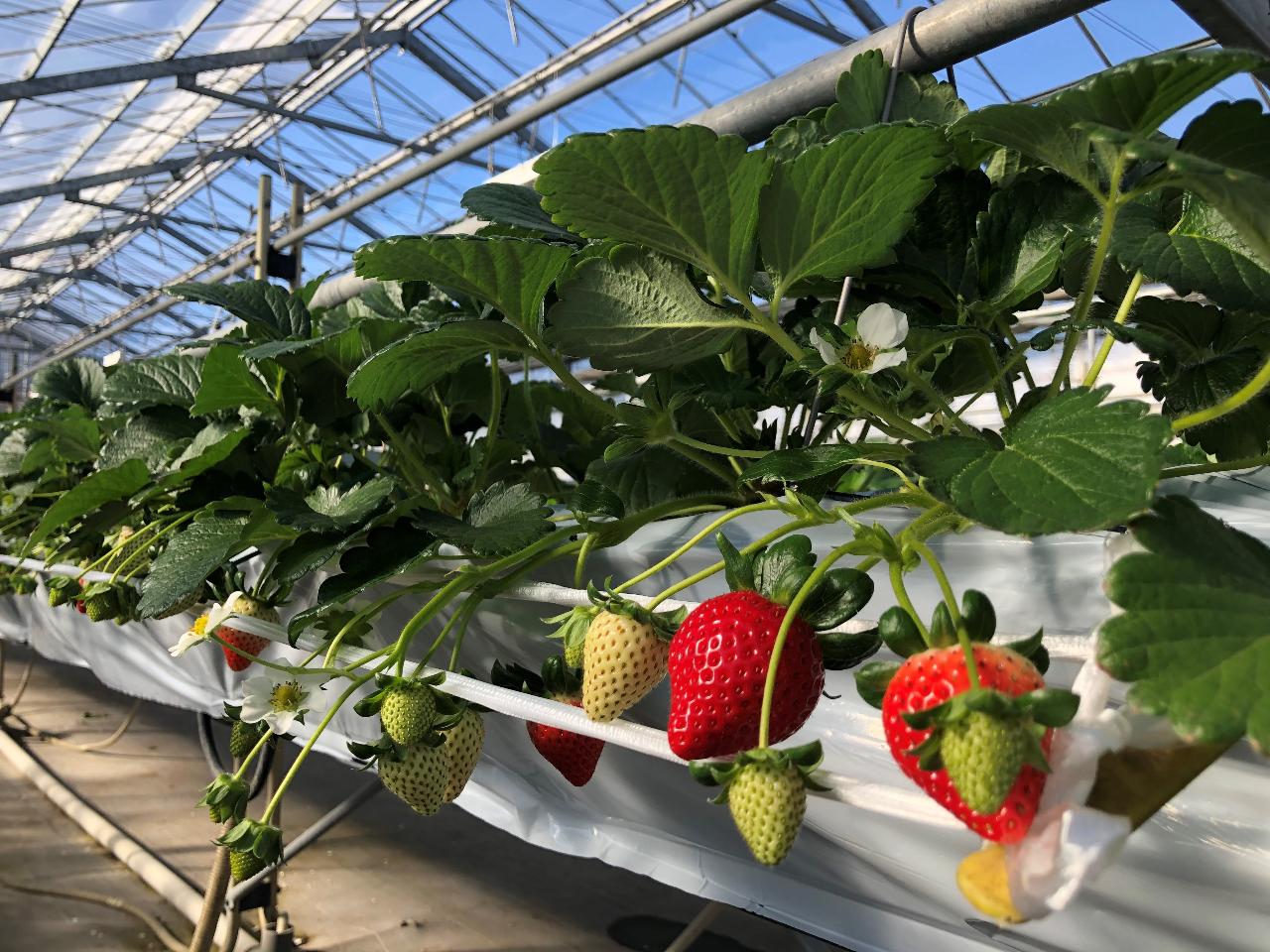 高設栽培なので、屈むことなく、いちごの摘み取りを楽しむ事が出来ます。