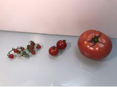 マイクロトマトはこんなに小さいです