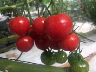 【ミニトマト狩り&収穫体験】コロナ対策実施中!関越道上里スマートIC降りてすぐトマト狩り☆
