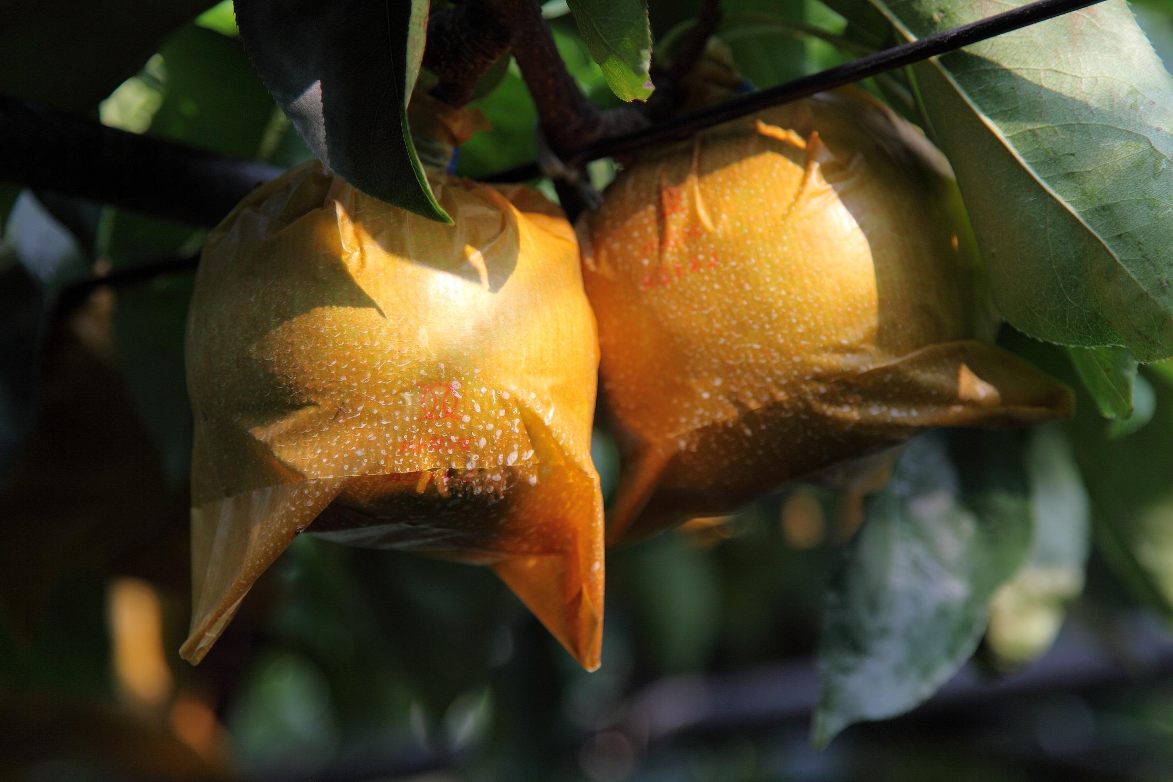 8月上旬~9月下旬◆60分食べ放題◆お得!なっとく!お土産2玉付き梨狩りプラン♪...