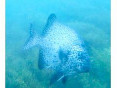 イシガキダイ(時期によっては熱帯性、亜熱帯性の魚を見ることができます。)