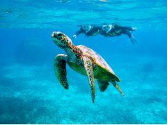 野生のウミガメとの遭遇率は、なんと98%以上!可愛いウミガメさんに心わしづかみ。