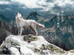 動物園で唯一の展示 幻の白いオオカミ「ホッキョクオオカミ」★オオカミの丘NEWオープン★