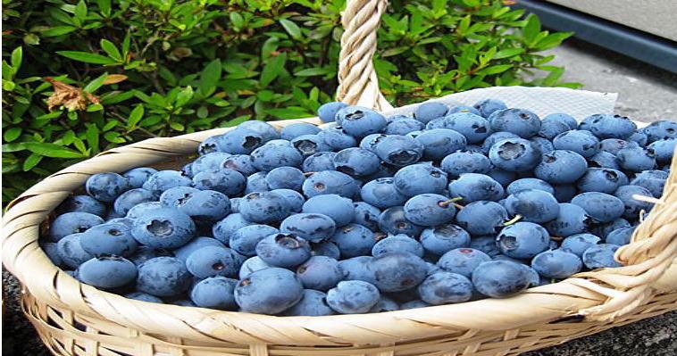 【徳島県在住者限定】【お子様連れに嬉しい】無農薬のこだわりブルーベリー食べ放題9...