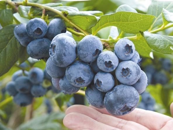 【40種類のブルーベリー摘み取り食べ放題★1時間コース】日本一広大なブルーベリー...