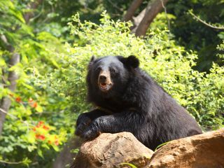 毛並みが黒くて美しく、胸には三日月のワンポイントが目印の ツキノワグマ