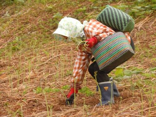 初心者歓迎!山菜王国戸沢村にて手ぶらで参加できるワラビ採り体験!