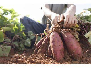 【1グループ千円】【無農薬・無化学肥料のこだわり農園体験】サツマイモ掘り放題!2kgお持ち帰りOK!さあ芋づるを引け!☆ファミリー、カップル、女性にオススメ!☆
