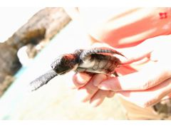 ツアー開催期間中はウミガメの産卵時期。子亀が見れることもある。
