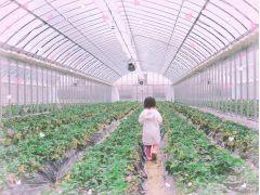 こだわりの土耕栽培でおいしいいちごをご用意しております♪