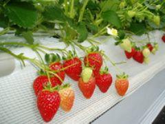 いちごの品種は「かおりの・よつぼし」を栽培しております。