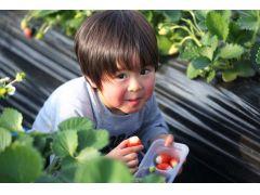 完熟まで栄養をたくさん受けてスクスク育ったいちごの甘さは格別☆