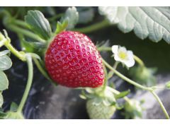 ヘタの反り返りは糖度が高い証拠です。ヘタまわりまで赤色であると、さらに完熟♪美味しいいちごを沢山楽しんでください。