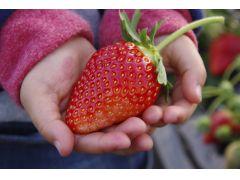 特大サイズのいちごは子ども(幼児)の両手よりも大きいものも有り!1月など早めの時期は粒も大物ぞろいなので、大きさ重視の方は早めの来園がオススメです!
