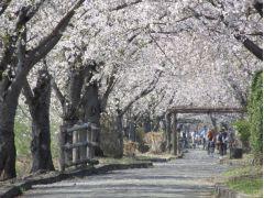 まほろばの緑道には約700本もの桜が咲き誇っています。