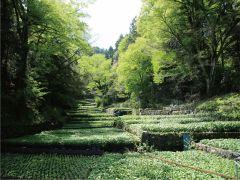 伊豆半島は日本有数のわさびの生産地です。