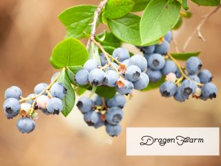 旬のブルーベリー狩りスタートしてます。美味しいブルーベリーが沢山実ってます!