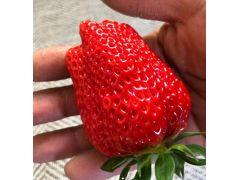こだわり苺を時間無制限で楽しめる!