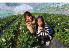 有機質の栄養豊富な土で育つ美味しい苺^^