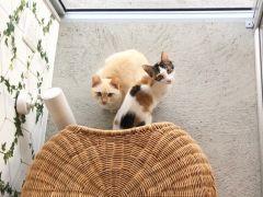ソーキくん(雑種)&てびちちゃん(雑種)※定期的に里親募集の保護猫を受け入れています。2匹は里親希望のエントリーがあり、2020年4月末にお引越し予定です。
