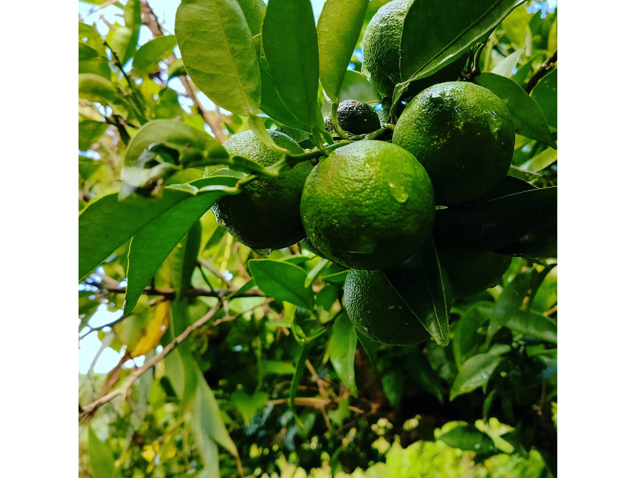 《すだち収穫体験》すだち収穫&1kgお土産付き☆★#神山のゲストハウス