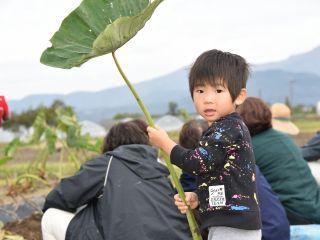 里芋収穫④