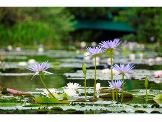 水の庭 モネが夢見た「青い睡蓮」(8月撮影) ~モネが咲かせたいと願い続けた「青い睡蓮」、北川村では毎年6月下旬頃~10月下旬頃まで美しい花を咲かせます。~