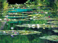 水の庭 (8月中旬頃撮影)~赤・白・黄・ピンクの温帯性睡蓮と青色の熱帯性睡蓮の競演。7月下旬頃~8月下旬頃まで約300凛が咲く。睡蓮は午前中が見頃です。