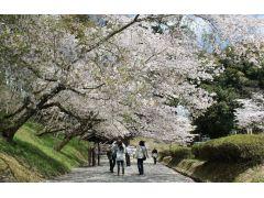 旧本丸へと続く桜並木