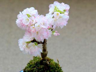 桜の苔玉は春限定!