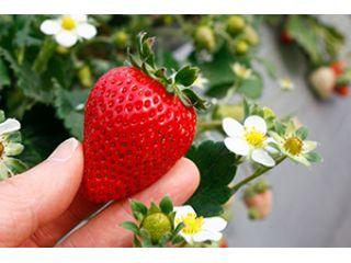 4/7〜|3~9品種食べ比べ!体も楽な高設栽培!40分間ゆったりいちご狩り♪