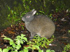可愛い特別天然記念物アマミノクロウサギ 2019~2020年8月は遭遇率100%継続中!黒兎に出会えるのは世界で奄美大島・徳之島だけです!