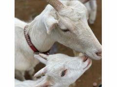 厚木農園のマスコットのヤギ達!子供達に大人気!無料で餌やり体験もできます♪