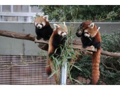 日本ではここだけ!可愛いニシレッサーパンダの姿は必見!