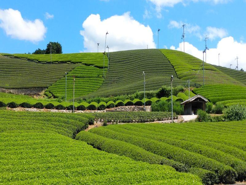 五感でお茶を堪能\宇治茶の郷で茶畑ウォーキング&和束茶でほっこり♪/茶団子付き!...