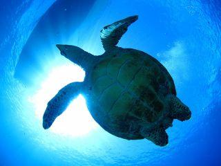 【期間限定価格】【最大6名様まで】コロナに負けるな!驚異のウミガメ遭遇率!絶景ビーチでウミガメシュノーケリング