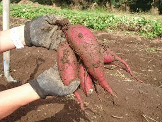 10/25(日)開催 さつまいも掘り収穫体験(第5回 畑クル)