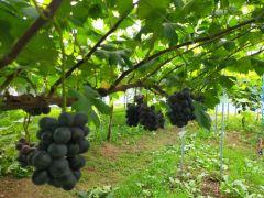 20種類の葡萄を育ててます