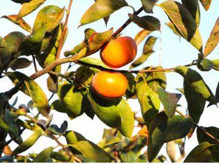 まるでマンゴーのようとも称される甘い柿