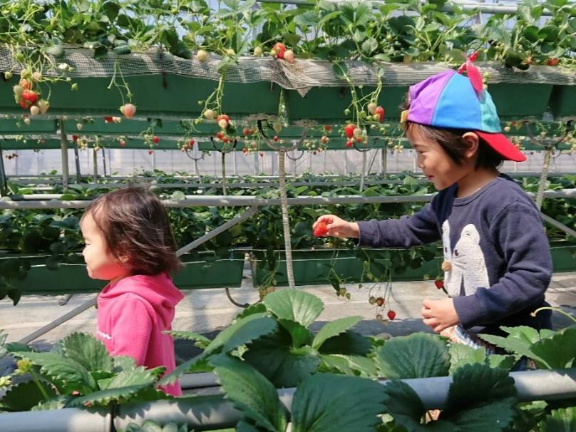高設栽培なので小さなお子様も摘み取りができます♪