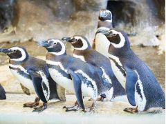 南アメリカ沿岸に棲んでいるマゼランペンギンを展示。6つの巣穴は野生のマゼランペンギンが土を掘って作る巣穴を再現しています。