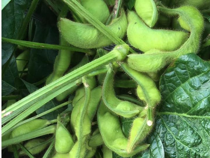 \◎丹波篠山の黒豆の枝豆収穫体験◎/10月22日限定!枝豆の収穫+おやつ付!♪3...